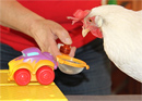Chicken workshop - become a chicken tamer